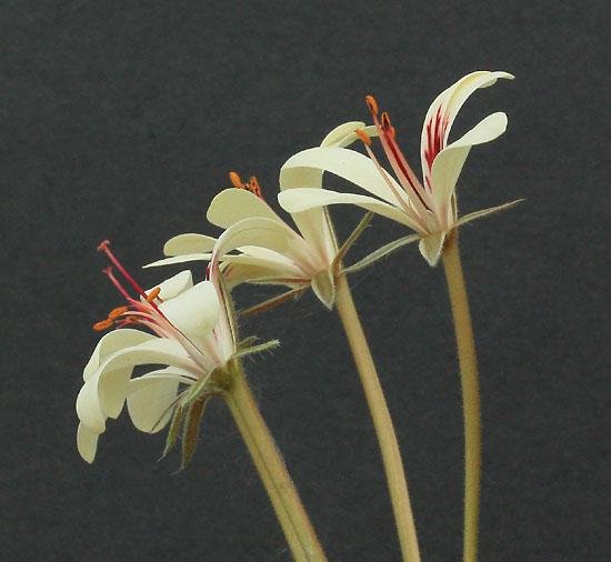 Pelargonium torulosum Img_1235