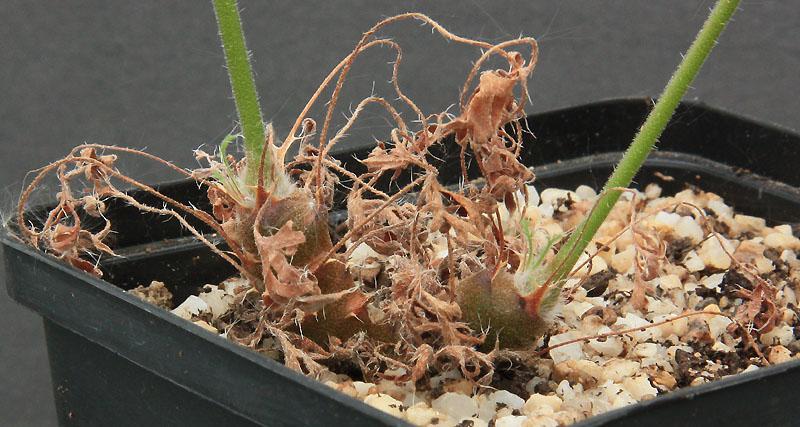 Pelargonium torulosum Img_1236