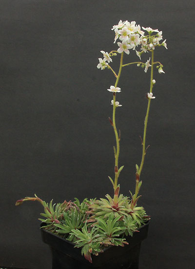 Saxifrages en 2011. - Page 3 Img_1237