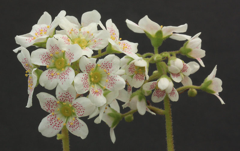 Saxifrages en 2011. - Page 3 Img_1238