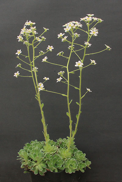 Saxifrages en 2011. - Page 3 Img_1319