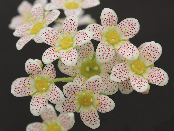 Saxifrages en 2011. - Page 3 Img_1320