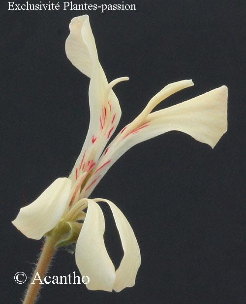 Pelargonium pinnatum Img_1324
