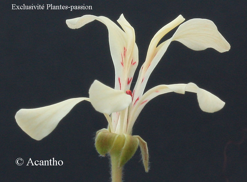 Pelargonium pinnatum Img_1325