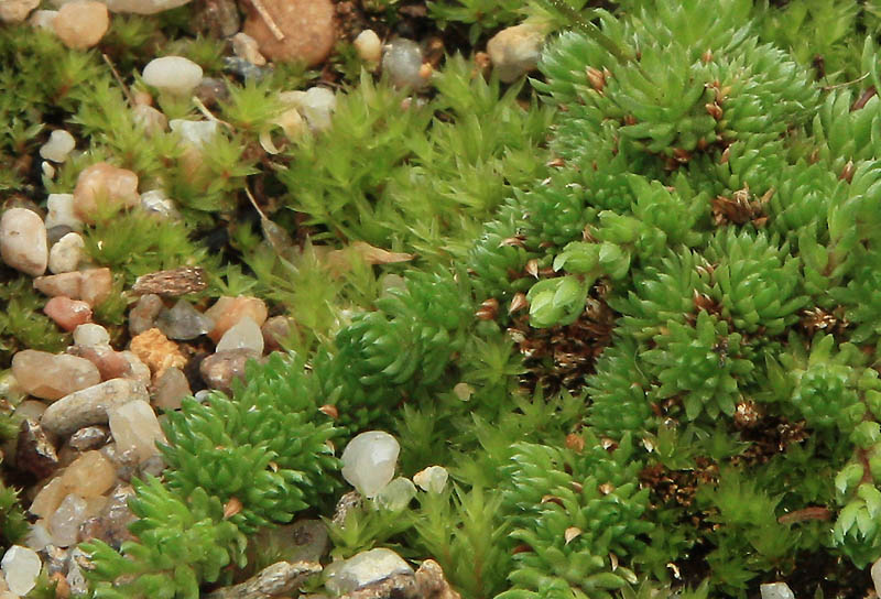 Saxifrages en 2011. - Page 3 Img_1340