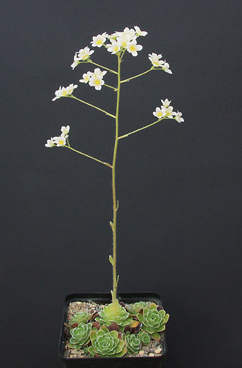 Saxifrages en 2011. - Page 3 Img_1418