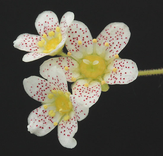 Saxifrages en 2011. - Page 3 Img_1420