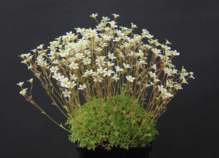 Saxifrages en 2011. - Page 3 Img_1428
