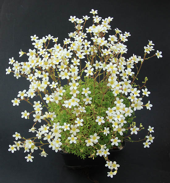 Saxifrages en 2011. - Page 3 Img_1429