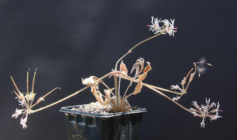 Pelargonium auritum var. carneum Img_1514