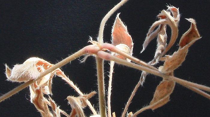 Pelargonium auritum var. carneum Img_1515