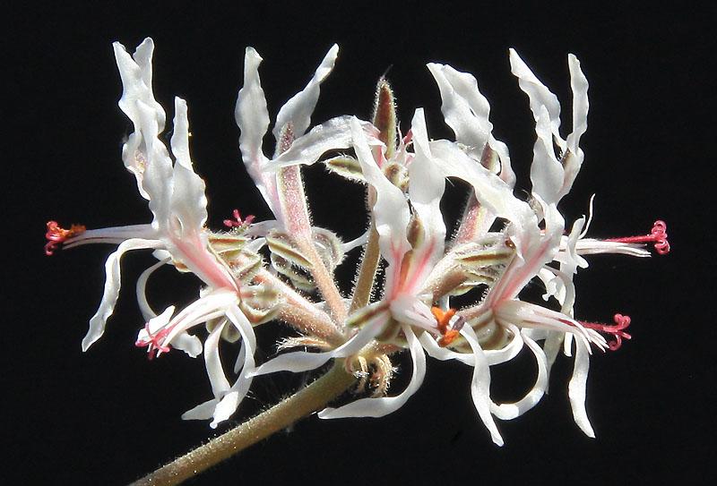 Pelargonium auritum var. carneum Img_1516