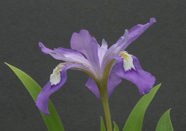 Iris cristata Img_9112