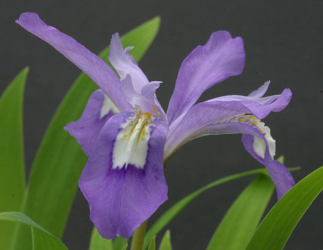 Iris cristata Img_9210
