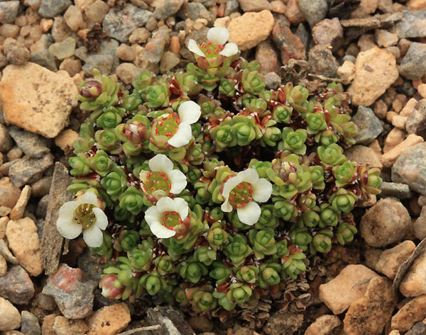 Saxifrages en 2011. - Page 3 Img_9410