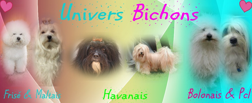 Forum Univers Bichons