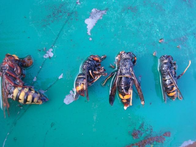HELP!!!!une ruche sur un toit...........la saga! - Page 6 Veluti10