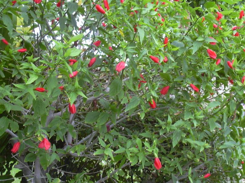 Ketmie des marais/ Hibiscus moscheutos - Page 2 Malvav10