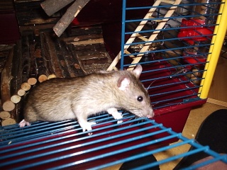 Rats Lith_119