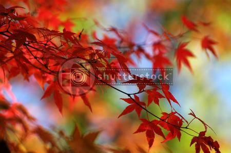 Erable en automne 11083110