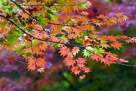 Erable en automne A40510