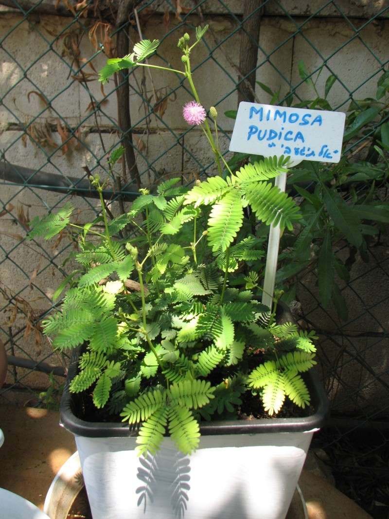 Mimosa pudica New_mi11