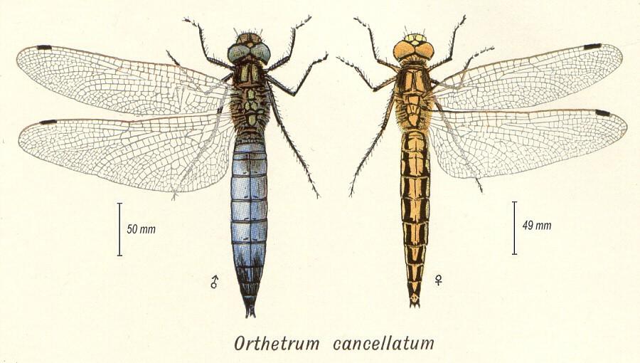 [Gomphus pulchellus] Femelle Orthetrum à déterminer Orthet10
