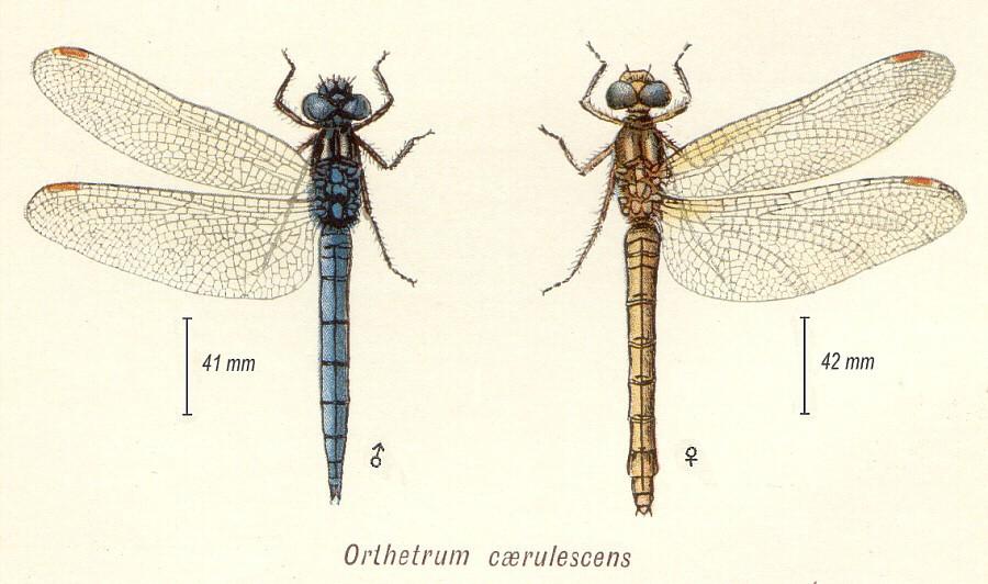 [Gomphus pulchellus] Femelle Orthetrum à déterminer Orthet11