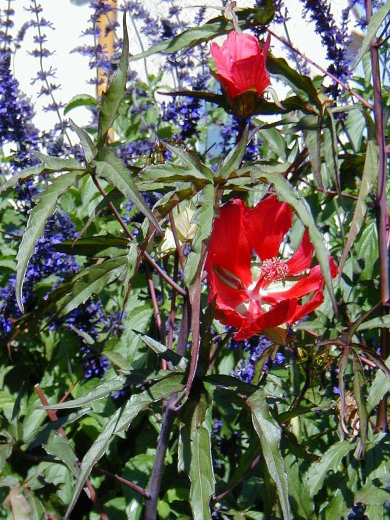 Ketmie des marais/ Hibiscus moscheutos - Page 2 Hibisc12