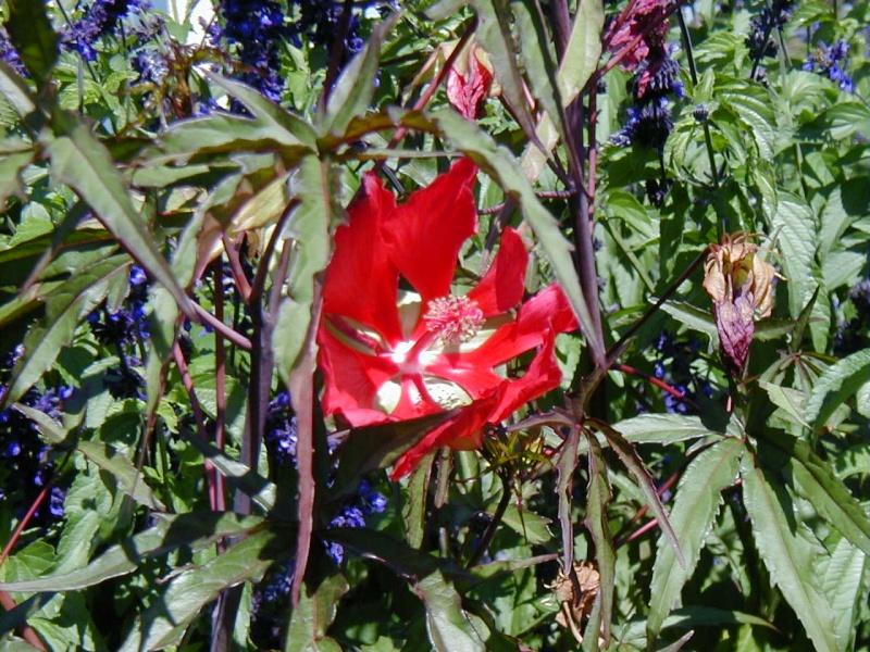 Ketmie des marais/ Hibiscus moscheutos - Page 2 Hibisc13