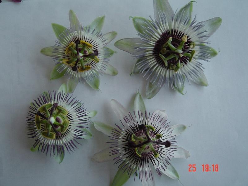 Se buscan fotos de P. caerulea Dsc00110
