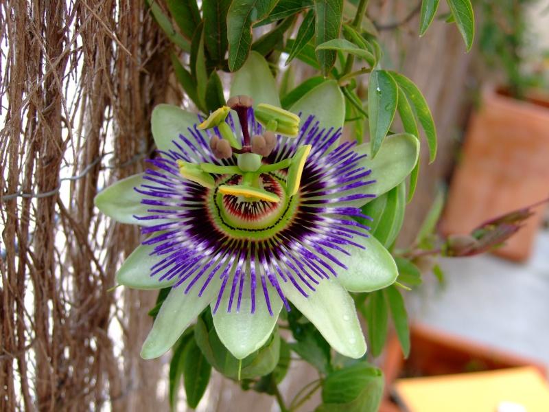 Se buscan fotos de P. caerulea Dscf0110