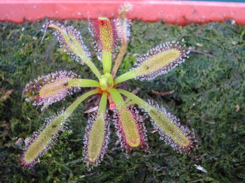 Drosera capensis et dionée en cours d'acclimatation Photo_12