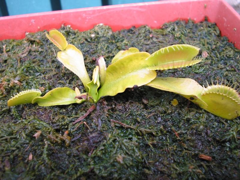 Drosera capensis et dionée en cours d'acclimatation Photo_13