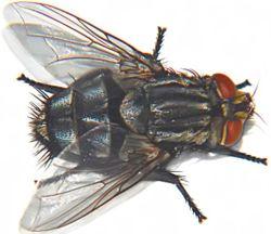 La mouche 250px-11
