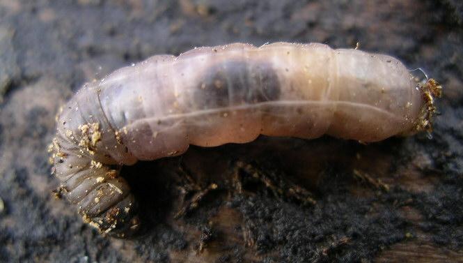 La mouche Lerva110