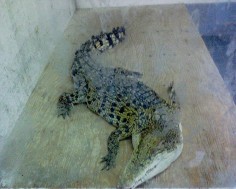 Fotos cocodrilos Dsc00210