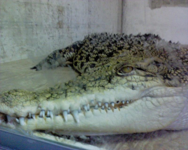 Fotos cocodrilos Dsc00211
