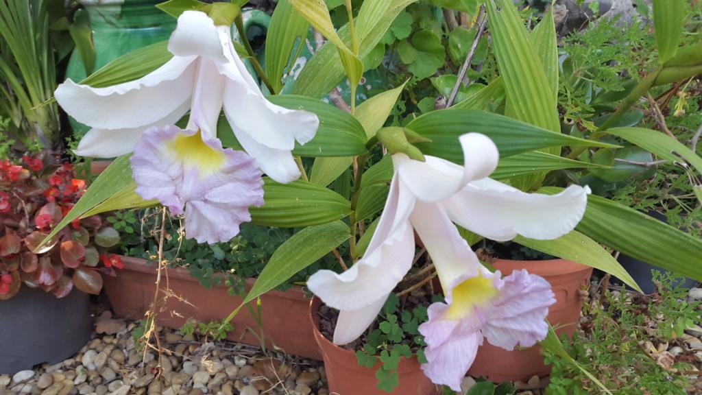 floraisons des orchidées - Page 43 20180712