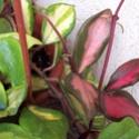 Flori de Hoya - Pagina 3 100_0511