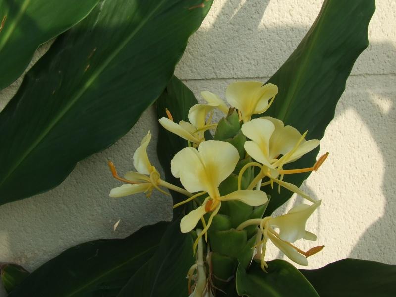 Hedychium flavescens, une tardive très parfumée 2010_022