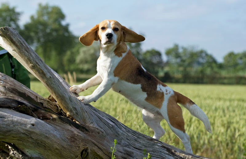 COOKYE, beagle femelle LOF, 4 ans (69) 17029710