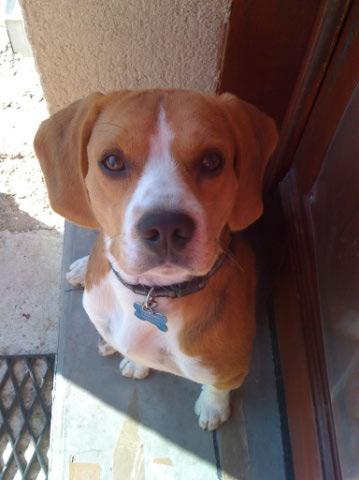 EGONE, beagle mâle LOF, 1 an  Beaggl11