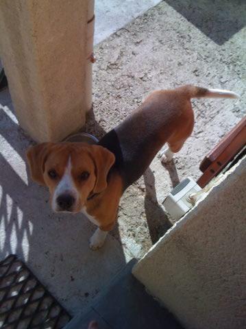 EGONE, beagle mâle LOF, 1 an  Beagle10