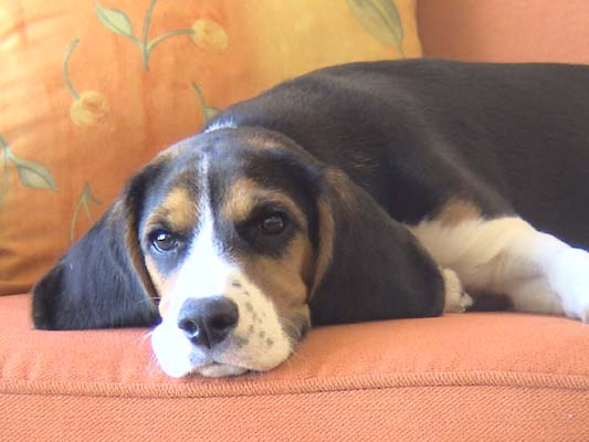[Perdu] Beagle perdu dans Paris...retrouvé ! Dsc00210
