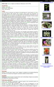 Senecio articulatus variegata Screen12