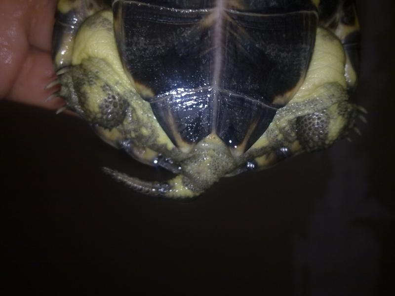 mauremys mutica male ou femelle? Tel2_024