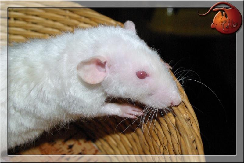 Les rats en terrario et en dehors - Page 2 Imgp4734