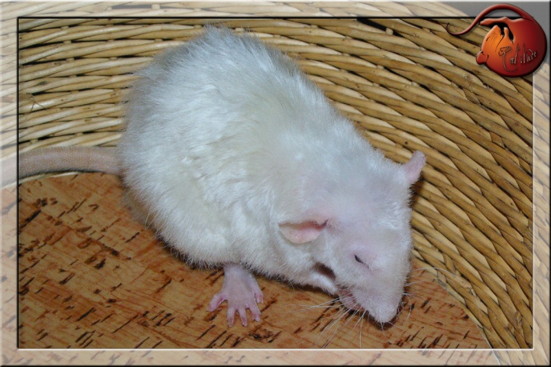Les rats en terrario et en dehors - Page 2 Imgp4736