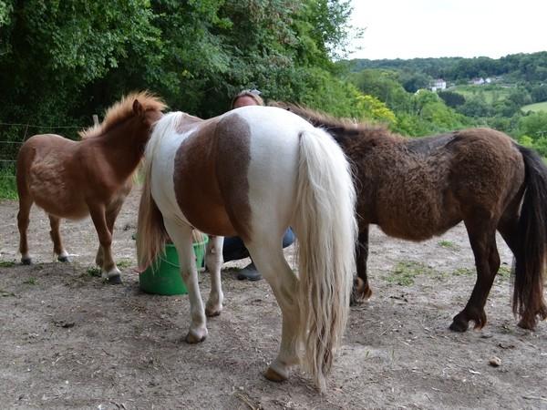 Macho de l'Espoir, type toy horse hongre pie alezan  Dsc_0022